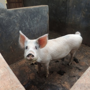 Pig farming in Uganda–Big options, and big research, takehold