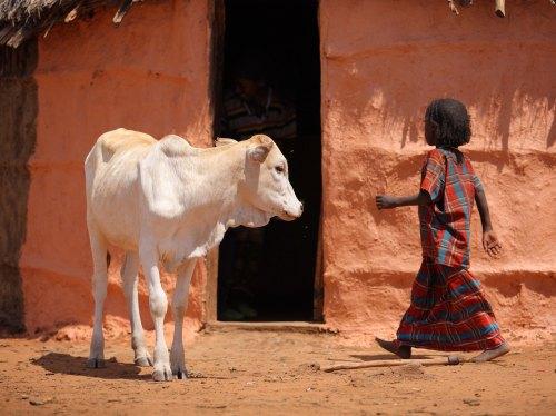 Cattle breed: Boran. Location: Nr Mega, southern Ethiopia.