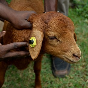 Kenya's native goats and sheep, expertly crossbred, are key to helping farmers cope with climate change