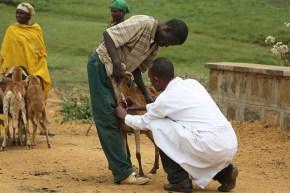 Ethiopia livestock master plan: Livestock healthpriorities