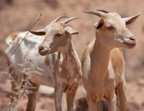 Creating an enabling environment for livestock development inEthiopia