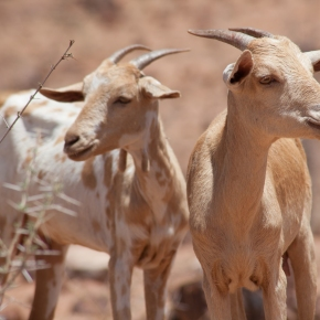 Creating an enabling environment for livestock development in Ethiopia