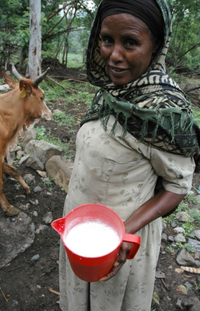 Aflatoxin levels in cow milk and feed in the Addis Ababa milk shed—New study