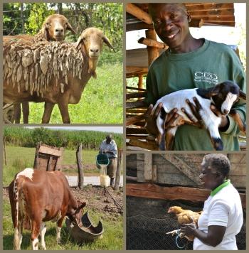 Collage_Climate-SmartLivestock_WesternKenya_CCAFS_02