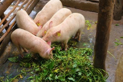 Piglets-eating-sweetpotato-silage-in-Uganda_BySaraQuinn-CIP