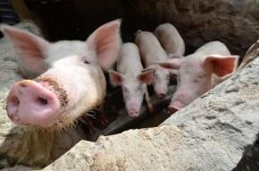 Roots, tubers and banana plants: Next-generation pig feeds forUganda