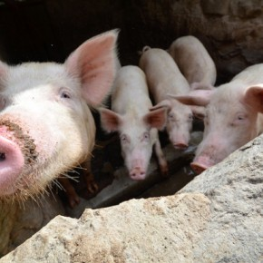 Roots, tubers and banana plants: Next-generation pig feeds for Uganda