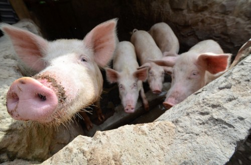 Pigs_ByNeilPalmer-CIAT