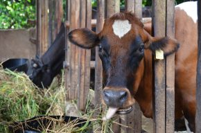 Towards more productive dairy cattle for Africa's smallholders