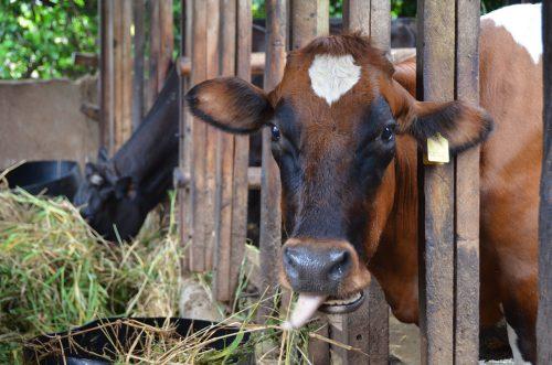 Dairy cow in Tanga, Tanzania (photo credit: ILRI/Paul Karaimu).