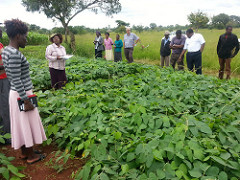 No longer business as usual: Improved feeds transforming dairying in Zimbabwe