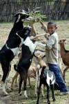 EthiopianBoyFeedingGoatsewenlb