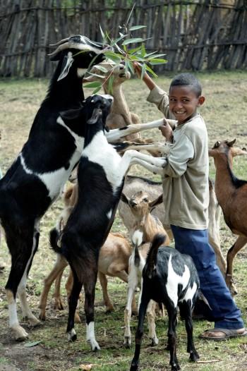 EthiopianBoyFeedingGoats