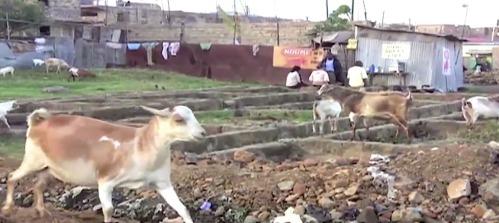 animals-in-slums