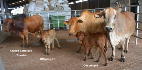 Cloned bull could contribute to development of disease-resistant African cattle