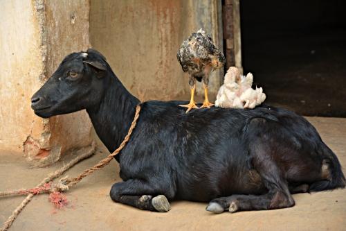 Odisha_GoatWithChicks_Cropped
