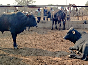 Beef value chain actors reap big gains from new financing in Southern Africa