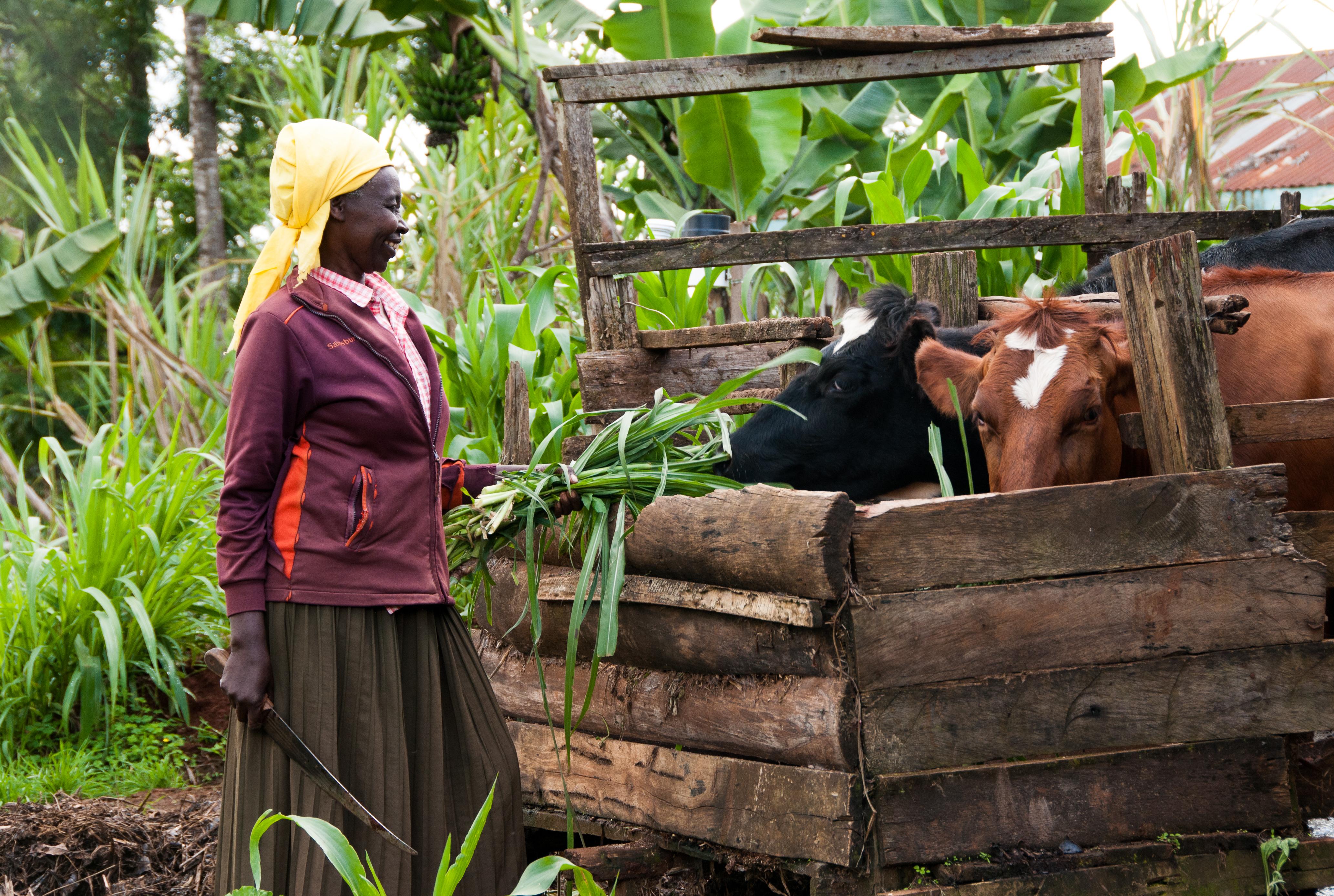 KenyanWomanFeedingCows_ByCIATsusanmacmillanTana River watershed, Kenya