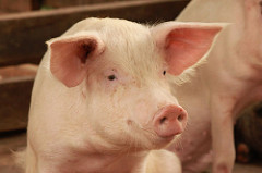 Pig farmers to earn more through new genetics project in Uganda