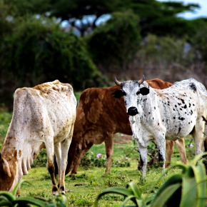 Ethiopia's 'livestock roadmaps' for growth and transformation to a middle-income nation