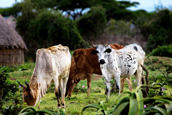 Ethiopia's 'livestock roadmaps' for growth and
