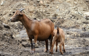 Lifetime performance of West African dwarf goats under different feeding systems