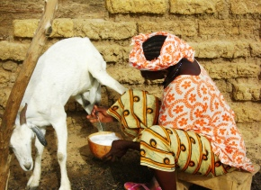 Empowering ruminant livestock enterprises in Mali—A Feed the Future-ILRI project