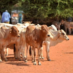 Science helps tailor livestock-related climate change mitigation strategies in Africa