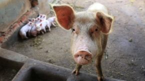 Partnerships to increase pig production in Uganda