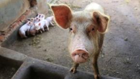 Partnerships to increase pig production inUganda