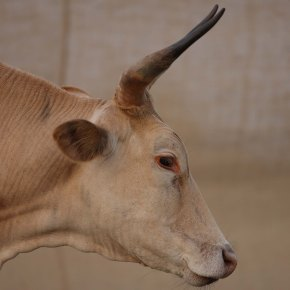 DNA sequencing of indigenous African cattle reveals vital clues to increasing productivity