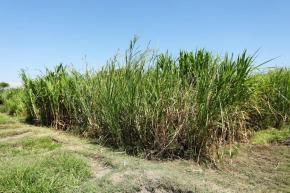 New insights into the diversity of Napier grass: More productivity in fully irrigatedsystems