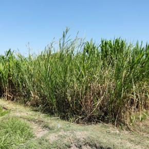 New insights into the diversity of Napier grass: More productivity in fully irrigated systems