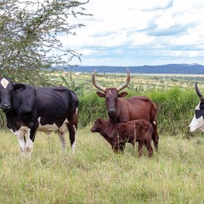 Boosting Uganda's investments in livestock development – healthy animals for healthy food and healthypeople