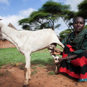 Epidemiology and control of peste des petits ruminants in East and West Africa