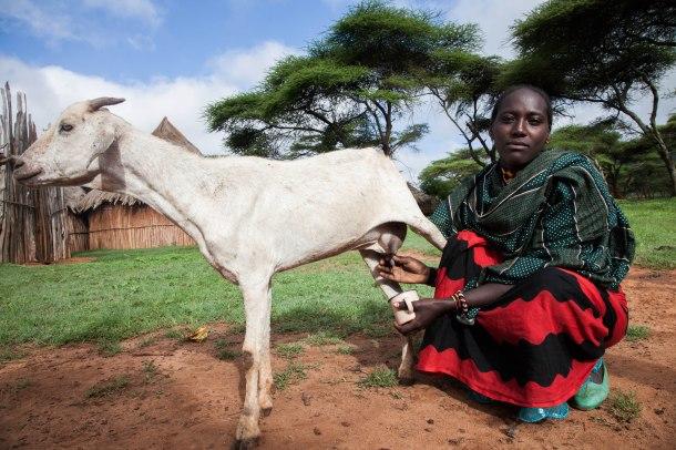 A women pastoralist milks her goat