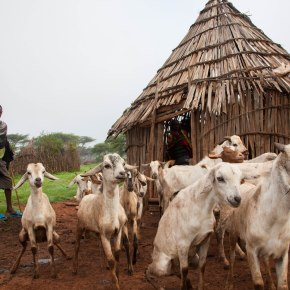 Eradicating Peste des Petits Ruminants in Uganda – BuildUganda project to reinforce national disease control capacities