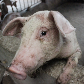 African swine fever ten years on: the lessons learned and the way forward
