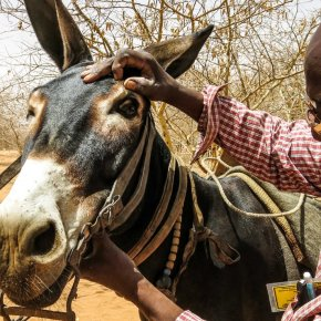 'Invisible livestock' – On the central roles of working horses, donkeys and mules on the smallholder farms that feed the world