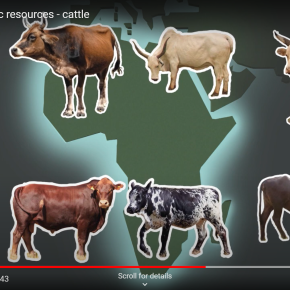 A 1,000-year-old 'Evolutionary Jolt' helped African cattle adapt to the continent's multiple challenges